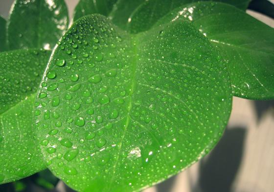 Huonekasvien lehtien sumutus saa kasvit viihtymään paremmin.