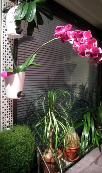 Perhosorkidea kukkii myös talvella, jos se saa lisävaloa.
