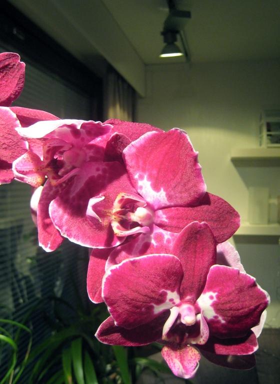 Perhosorkidea