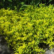 keltamaksaruoho