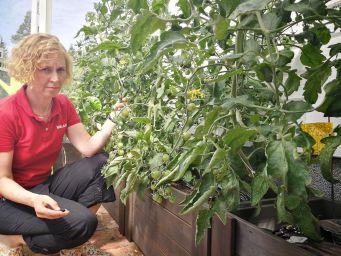 Tomaatin alalehtien poistaminen