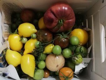 Tomaattilajikkeita kokeilussa