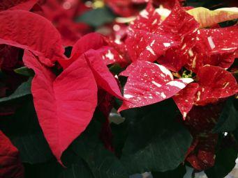 Älä laita kukkia joulukuusen viereen