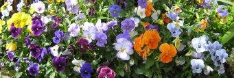 Mitä kasveja kotipuutarhoissa kasvatetaan ja mistä haaveillaan?