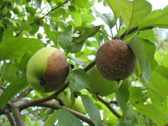 Muumiotauti pilaa omenoita