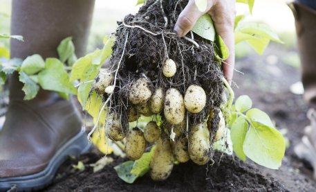Biolan Potatis- och Rotfruktgödsel