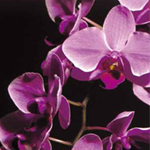 Perhosorkidea (Phalaenopsis)