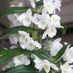Puikkokämmekkä (Dendrobium)