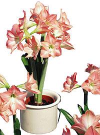 Ritarinkukka eli vanhalta nimeltään amaryllis on helppo kukittaa myös kotona.