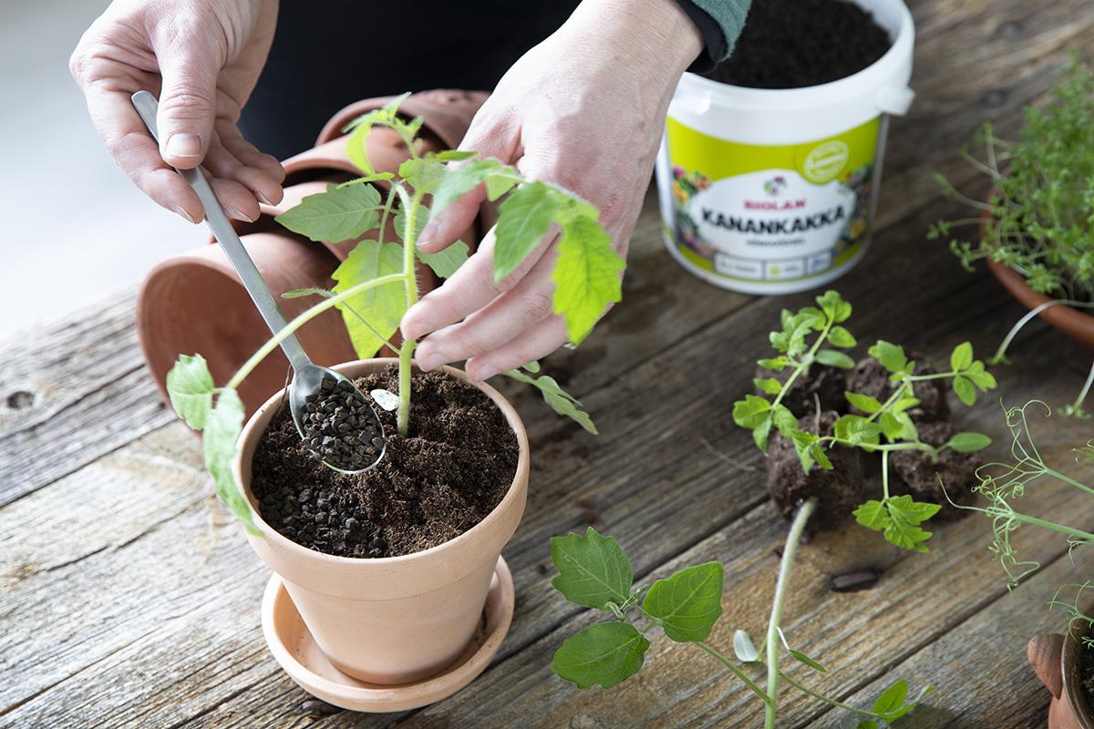 Ruukutuksen yhteydessä tomaatin taimille annetaan varastolannoitus Biolan Kanankakalla.