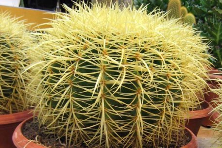 Biolan Kaktusmylla